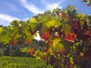 RRV Grapes
