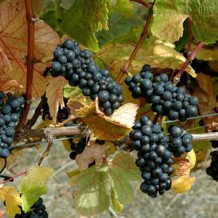 Late-Breaking Pinot Noirs