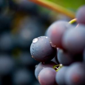 Delicious, juicy organic grapes